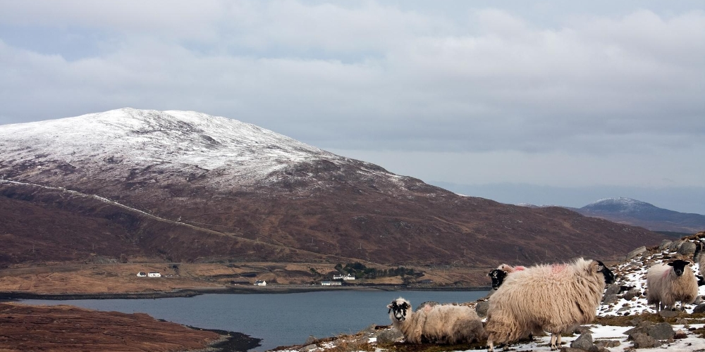 Sheep on the Isle of Harris