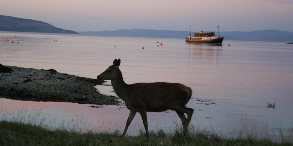 Deer on Arran