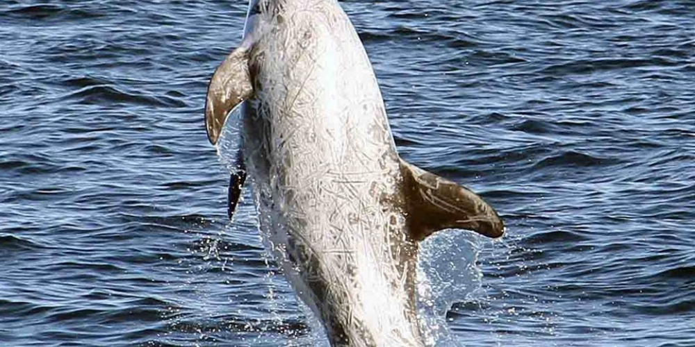 Picture of Risso's Dolphin